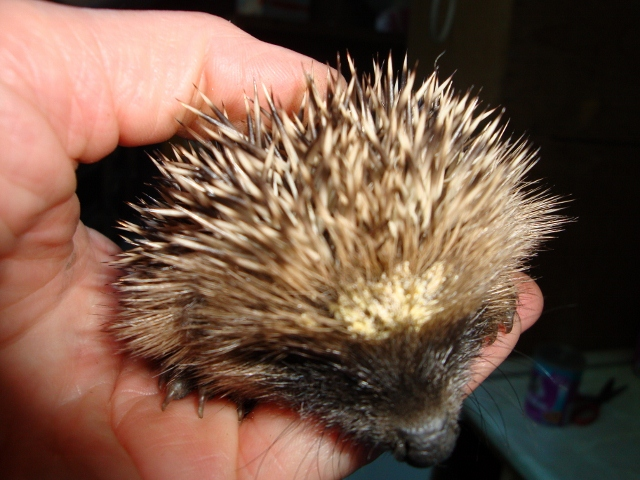 http://www jerseyhedgehogs co uk - JERSEY HEDGEHOG