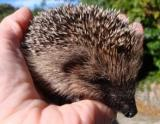 Vineries and other hoglets 001 (640x480).jpg