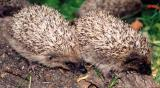 2 young hedgehogs on log