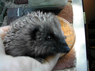 Baby hedgehog coming into care
