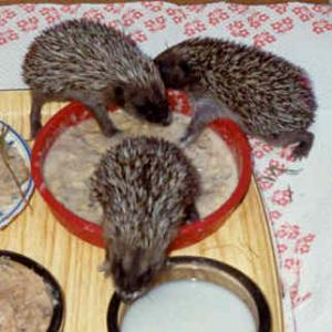 3 young hoglets eating for themselves